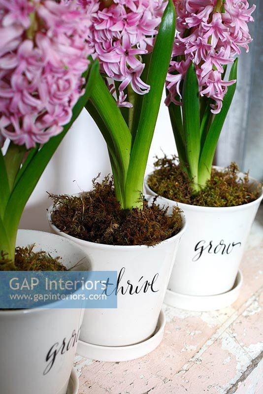 Detail of Hyacinths in decorative pots
