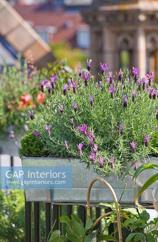 Window box full of lavender on balcony
