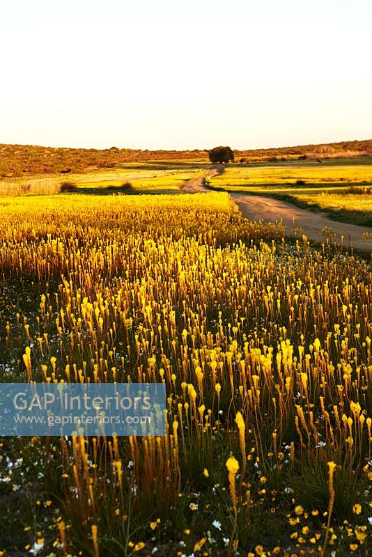 Road through of fields of Kniphofia, South Africa