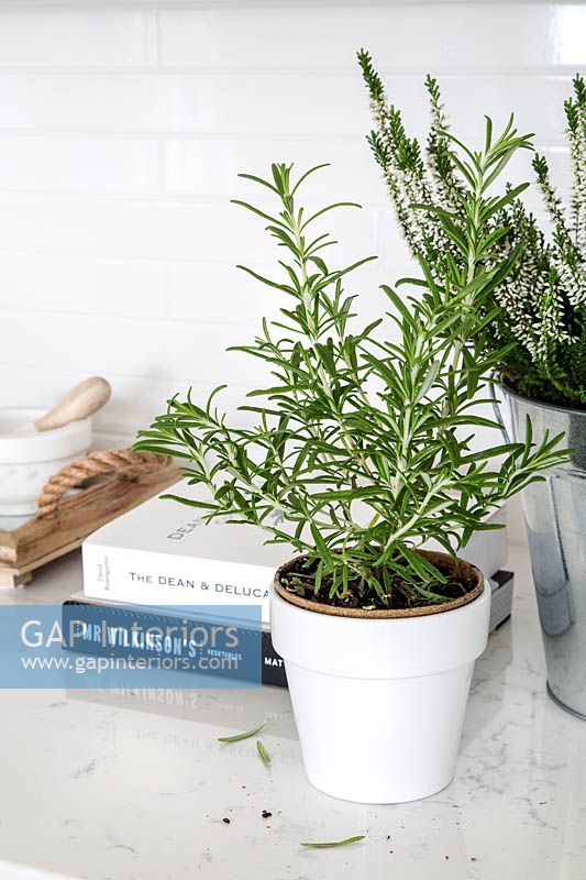 Rosemary in white pot