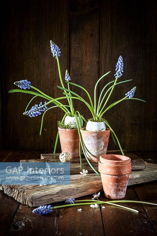 Muscari flowers in birds egg pots
