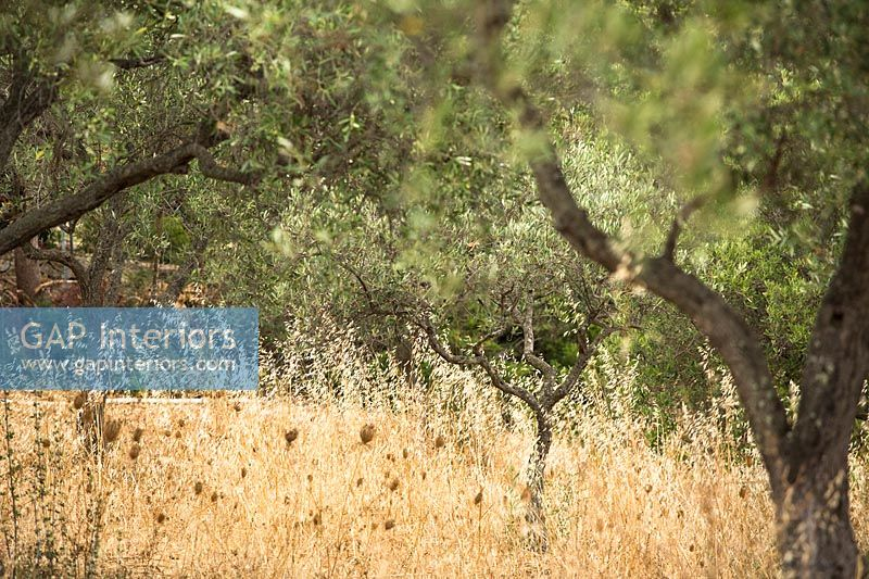 dry grasses between olive trees