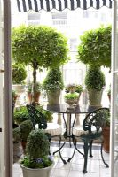 Classic balcony with topiary bushes