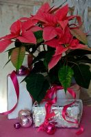 Poinsettia with wrapped Christmas presents.