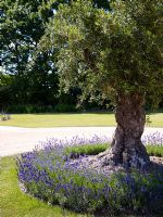 Tree with under planted with lavender