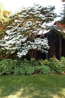 Flowering Dogwood tree in garden border