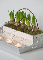 Hyacinths in wooden pot