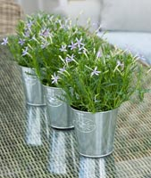 Isotoma axillaris houseplants in silver containers