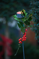 Christmas garden decoration with Holly
