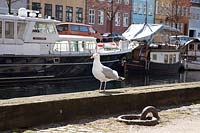Seagull at harbour, Copenhagen, Denmark