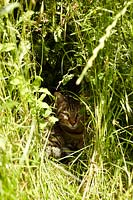 Tabby cat sitting in undergrowth