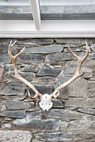 Wall mounted stag skull