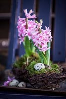 Hyacinths and Quails eggs
