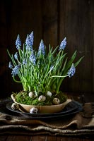 Bowl of Muscari flowers with Quails eggs