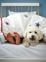 Pet dog in bed with owner