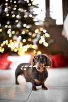 Pet dog in front of Christmas tree