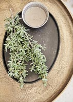 Sprig of succulent plant on table