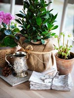 Detail of small bay tree in pot wrapped in hessian as gift