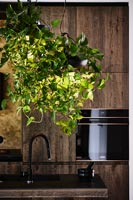 Trailing houseplant in modern wooden kitchen